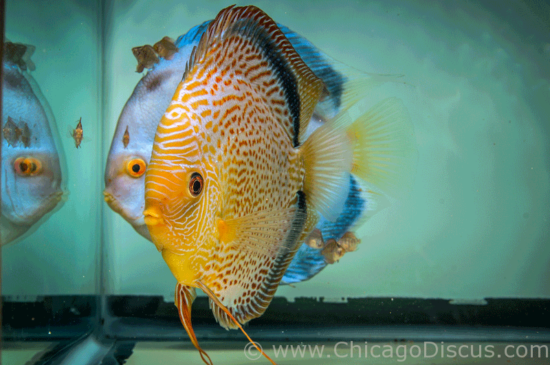Discus fish for sale chicago chicago discus offers the for Fish for sale online